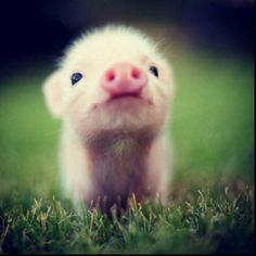 someone please get me a pig. I want one!