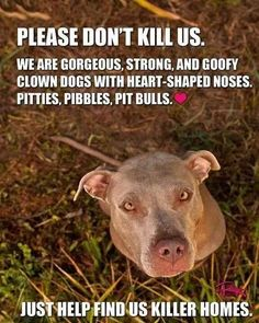 Pitbulls- so true! Ginger Snap is all of the above! I love my pitty girl! I Love Dogs, Puppy Love, Cute Dogs, Animals And Pets, Funny Animals, Cute Animals, Wild Animals, Pitbulls, Nanny Dog