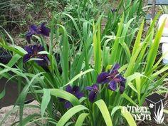 איריס / אירוס - Iris - משתלות מלצר, משתלת גידול, משתלה לצמחים רב שנתיים,שיחים, עונתיים, מטפסים, תבלינים וירקות ועוד..