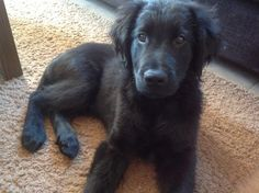Flat Coated Retriever Pup~ Classic Look & Trim   Will be neat to see if Bella is this breed!