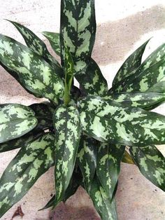 Emerald Beauty Aglaonema