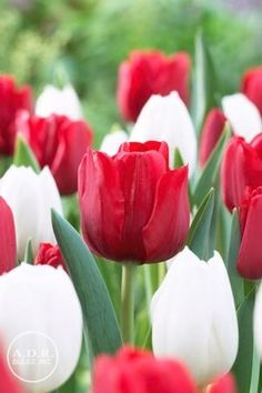 Tulipa value pack 'Ile de France & Inzell Mix' Tulip from ADR Bulbs