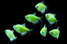 Glofish® Electric Green® Tetras.  This is the kind of fish Herr Klaus is!!!