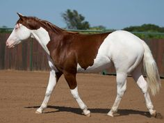 Titan 2013 Colt by Colonels Smoking Gun x Princess In Diamonds. Looks definitely like a splashed white. American Paint Horse, American Quarter Horse, Most Beautiful Horses, All The Pretty Horses, Quarter Horses, Cute Horses, Horse Love, Cheval Pie, Horse Markings