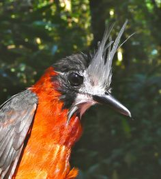 "The White-plumed Antbird has gone ""extinct"""