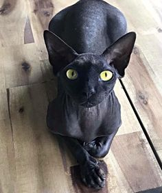 Gato Sphinx, Sphynx Gato, Hairless Cats, Funny Animal Videos, Funny Animals, Cute Animals, Scottish Fold, Cute Cats And Dogs, Cool Cats