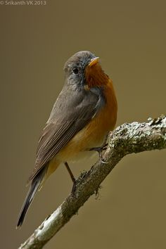 Kashmir Flycatcher (Ficedula subrubra) by Srikanth_Vk