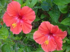 Picture of Hibiscus Flowers stock photo, images and stock photography.