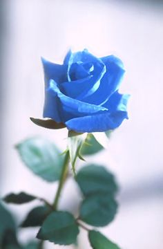 A blue rose is traditionally a flower of the genus Rosa (family Rosaceae) that presents blue-to Black roses represent while the blue roses signify mystery.