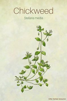 The Herb Chickweed (Stellaria media)