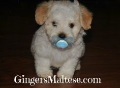 Great Article explaining differences between Maltese and a Maltipoo Puppy.