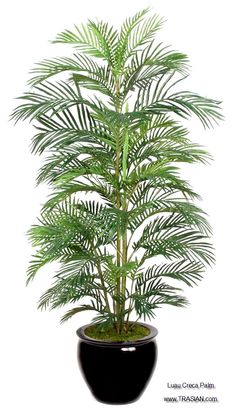 Refresh and update your home decor with the chic Luau Creca Palm. The life-like quality of the palm requires no water, making it a great choice for years of natural beauty. This beautiful silk Luau Creca Palm can be made in various sizes and colors and can be ordered in bulk from China at factory direct prices from www.TRASIAN.com, including quality control, customization, a huge variety of modern or contemporary pots, and non-profit shipping logistics to your door steps.