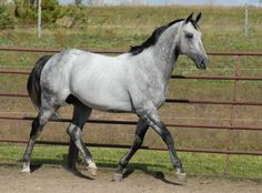 Gray Thoroughbred Stallion / Royal Jabar - this horse looks like a horse I rode called Missy. The only difference is that she was a girl and this horse is a boy.