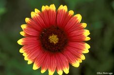 Indian Blanket (gaillarida pulchella)  Germination takes 6-14 days.  Sow direct during spring and summer into prepared bed.  Cover seeds with a light dusting of soil and press in    September to February