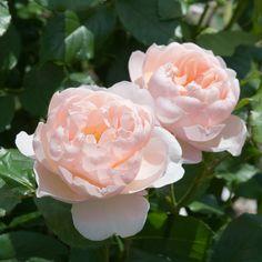English Rose - bred by David Austin Shrub Rose An upright, bushy shrub with deeply cupped, fragrant flowers. Soft apricot pink, deeply cupped flowers. Love