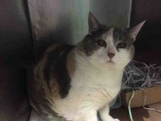 CIARA -  A1052410 - - Brooklyn  *** TO BE DESTROYED 10/08/15 *** MATURE, ZAFTIG GIRL LOOKING TO BE LOVED AGAIN….CIARA'S owner died and the family is not keeping her…how sad is that? CIARA has lost the chihuahua and the children that she once lived with and now faces and uncertain future…A volunteer writes: Who is this mysterious lady, why it is Ciara. This pretty calico knows the ropes and knows what she wants. She needs a new home and would love to