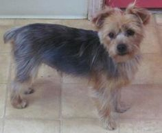 Jade is an adoptable Yorkshire Terrier Yorkie Dog in Warsaw, MO. Jade is a one year old yorkie. She weighs about 8 lbs. She is very sweet and friendly. She does great with other dogs and cats. She has...