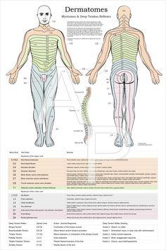 Dermatomes Poster