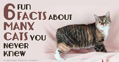 The Manx is an ancient cat breed known for its lack of tail, a feature caused by a gene mutation. http://healthypets.mercola.com/sites/healthypets/archive/2014/10/03/manx-cat.aspx