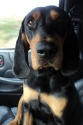 Reba is an adoptable Coonhound Dog in Coeburn, VA. Reba is a beautiful, medium to large-sized black/tan coonhound who was recently pulled from the Montgomery County, KY shelter. She is a wonderful gir...