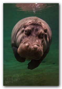 A hippopotamus can remain underwater for more than five minutes. But so would you if you looked like a hippo. Nature Animals, Baby Animals, Funny Animals, Cute Animals, Baby Hippo, Beautiful Creatures, Animals Beautiful, Tier Fotos, All Gods Creatures