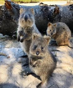 Quokkas Happy Animals, Animals And Pets, Cute Animals, Mundo Animal, My Animal, Beautiful Creatures, Animals Beautiful, Australia Animals, Quokka