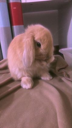 Mini Lop Bunnies, Mini Lop Rabbit, Pet Bunny Rabbits, Cute Baby Bunnies, Baby Animals Super Cute, Cute Wild Animals, Baby Chickens, Pretty Animals, Baby Animals Pictures