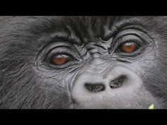 the importance of beeing fresh Talk To The Hand, Mountain Gorilla, Stock Video, Stock Footage, Close Up, Semper Fi, Luxury Branding, Youtube, Animals
