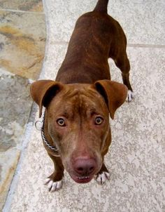 06/13/15-Meet Nevada, a Petfinder adoptable Pit Bull Terrier Dog | Houston, TX | Hi--I'm Nevada! I was found as a stray in a southwest neighborhood here in Houston. People in the...
