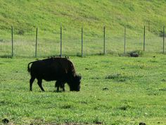 here is a lone buffalo feeding in that field.  this was also scanned into my camera.  up above Golden, CO.  2008