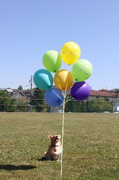 Have a bunch of balloons? No problem! Corgis are great at guarding them. | 71 Reasons We Need To SAVE CORGIS FROM EXTINCTION