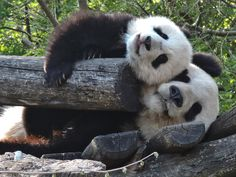 https://flic.kr/p/mB19Tp | Mother and son - a panda life... | Yang Yang and her six months old son Fu Bao