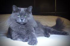 Quinne z Kociego Domu of Aurora Glow Siberian Cat, Masquerade, Aurora, Glow, Cats, Animals, Gatos, Animales, Animaux