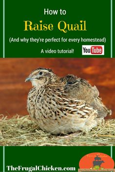 Not sure whether you should keep quail on your farm? Quail are perfect for every farm, and particularly for small, urban homesteads. In this video, you'll learn how to house quail, their basic requirements, and how to sex them. From FrugalChicken.