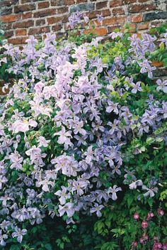 Clematis Perle D'Azure #plants #gardening #clematis #flowers #organic