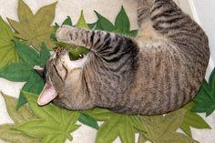Cannabis Cat Leaf, catnip filled toy, green felt leaf. $10.00, via Etsy.