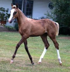Timeless Blonde A very sooty palomino Thoroughbred filly with sabino markings.