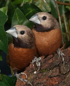 Grey-crowned Mannikin, Lonchura nevermanni, adult pair, an estrildid finch: New Guinea/ Indonesia