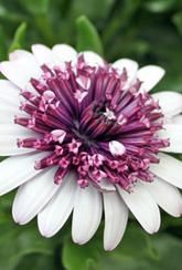 Osteospermum Flower Power Double - Berry White