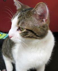 Adopt Gomer @ Feline Rescue in St. Paul, MN. He was rescued from death row! He's a real good boy lookin' for a home.