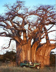 This is a Baobab tree, can you believe how big it is? Zambia (where we source our organic honey) has these trees everywhere.