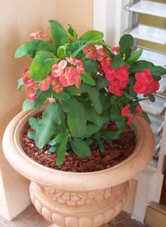 Crown of Thorns Care Instructions | We have a few Crown of Thorns plants (Euphorbia milii) growing in our ...