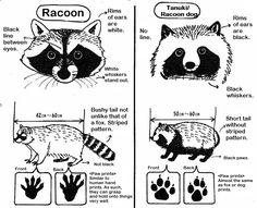 Raccoon Dogs/Tanuki