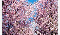 XIII – Dreizehnter Stern, die zweite – Gärten der Welt, Berlin – Kirschblüten Hanami https://murphyskiss.com/2016/04/19/xiii-dreizehnter-stern-die-zweite/