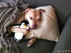 Pitbull Dog With Penguin