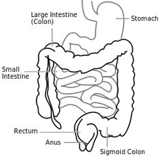 Intestine-diagram