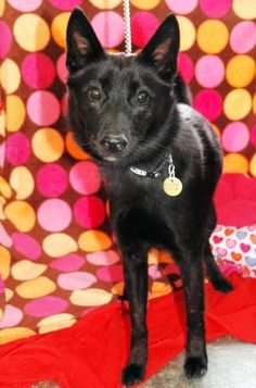 Meet Fancy...a female, Schipperke Mix who was born around January of 2011.  Fancy is a friendly girl who might seem a bit nervous at first so she would do best in a home with kids 12 and up.  She is also OK with cats and some dogs.