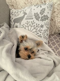 My little yorkie in the morning! Yorkie, The Outsiders, Cozy, Throw Pillows, Winter, Animals, Winter Time, Yorkies, Toss Pillows