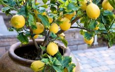 Want to grow fruit trees but don't have the space? Why not grow fruit trees for pots? Palmers have fruit trees, pots and the essentials for garden success. Diy Garden, Garden Plants, Indoor Plants, Fruit Garden, Landscaping Plants, Landscaping Ideas, Eureka Lemon Tree, Organic Gardening, Gardening Tips