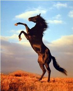 rearing mustang horse - Google Search